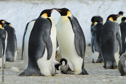 Obraz Emperor penguins (aptenodytes forsteri) in a colony with Chicks in the sea of Davis, near the island of Haswell - fototapety do salonu