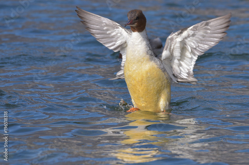 Smergo maggiore in primo piano con le ali aperte sull'acqua