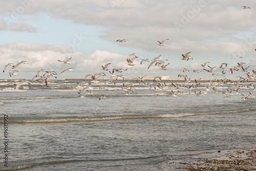 Fototapeta Latający seagulls na plaży Blankenberege Belgia