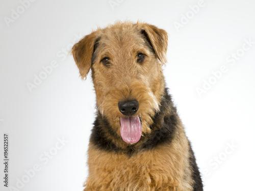 Airedale terrier puppy portrait Canvas Print