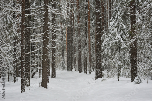 Snowfall in the taiga forest