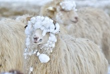 A Sheep Looks Into The Camera On A Winter Day