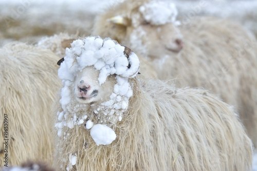 Fotografia A sheep looks into the camera on a winter day