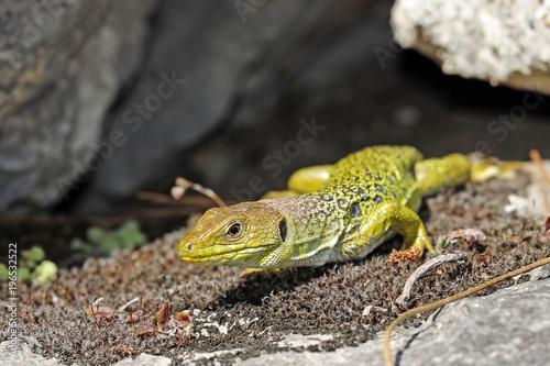 Photo  Perleidechse (Timon lepidus) - Ocellated lizard