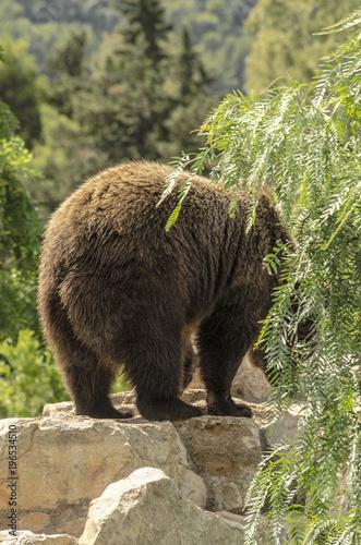 Foto  Orso bruno sopra una roccia visto da dietro