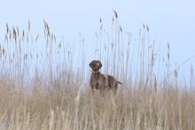 Hunting Dog Amongst Reeds And ...