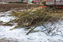 Dead Wood On The Road. Felled Tree And Branches. Agriculture And Countryside Theme