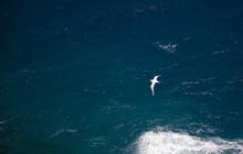 Tropic Bird Crossing The Ocean