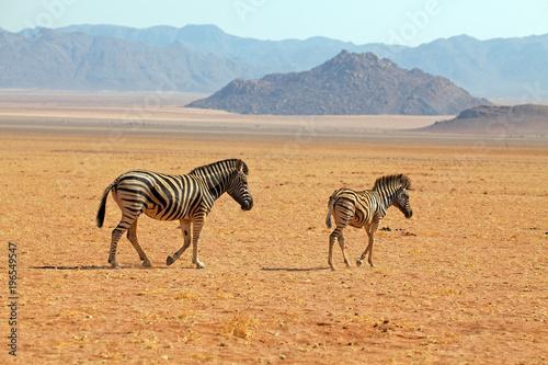 Staande foto Afrika Zebras