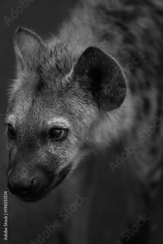 Staande foto Hyena Close-up of a Spotted Hyena in Kruger National Park, South Africa - Black and White