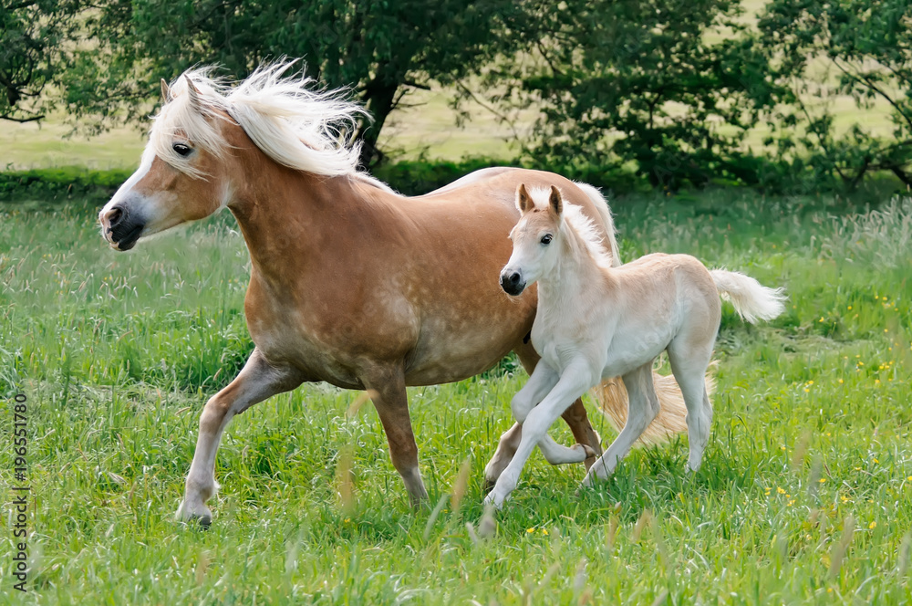 Haflinger horses mare with foal running side by side across a meadow