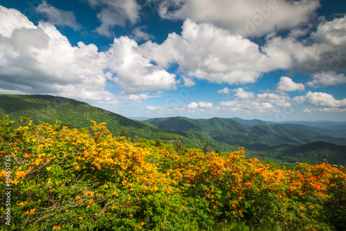 Poster Azalea Mountain Flame Azalea Spring Flowers Scenic Landscape Appalachian Trail North Carolina