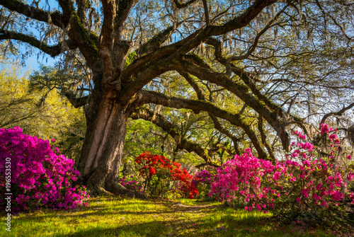 Wall Murals Azalea Spring Flowers Bloom at Charleston South Carolina Plantation