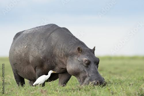 Hippo in the Okavango Delta