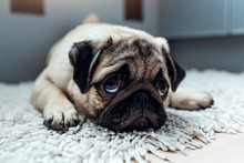 Pug Dog Was Punished And Left ...