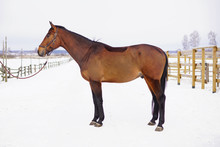 Brown Horse With A Clipped Out Coat Staying And Posing On A Snow In Winter