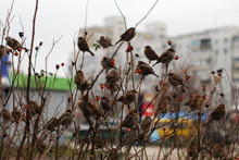Forty-two Sparrows