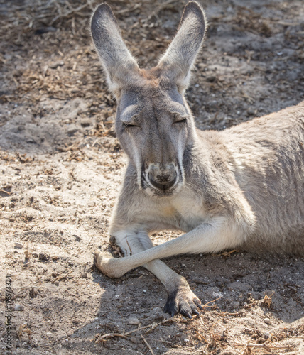In de dag Kangoeroe red kangaroo dozes off close up