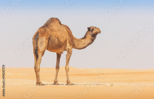 Fotobehang Kameel A camel in the Empty Quarter