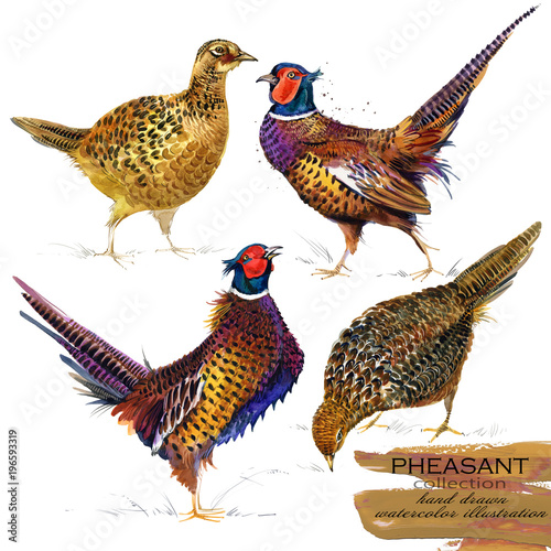 pheasant hand drawn watercolor illustration set Canvas Print
