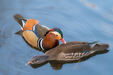 Mandarin Ducks Floating And Calm On The Water