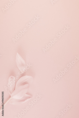 Aluminium Prints Manicure Pink tulip with petals on pink background Flat lay