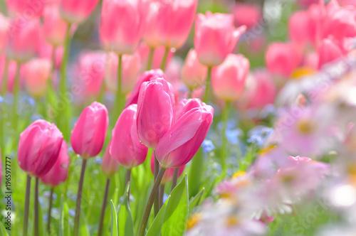 In de dag Candy roze 春の彩り