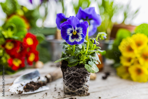 Spoed Foto op Canvas Pansies The first spring colorful flowers ready for planting.