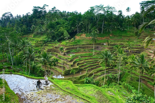 Foto op Plexiglas Indonesië Green emerald rice terraces, indonesian landscape in Bali, Indonesia