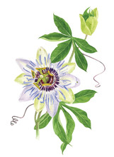 Watercolor Passion Flower Branch