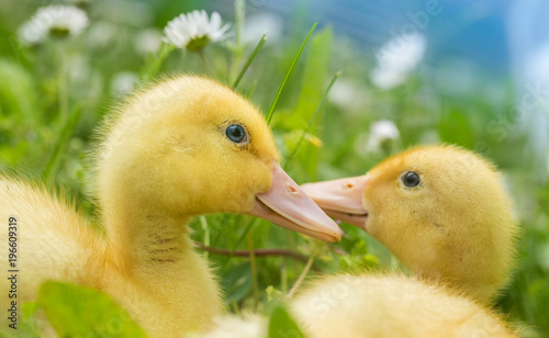 Little yellow duck on the field Canvas Print
