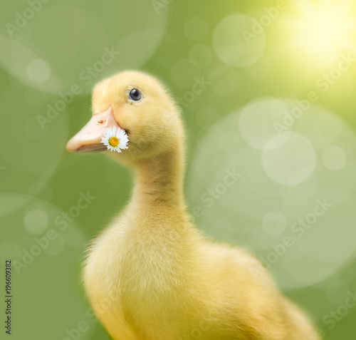 Little yellow duck with bokeh and yellow copy space Canvas Print