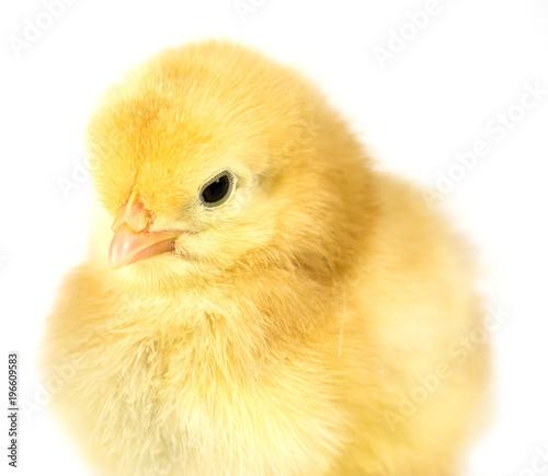 Baby chicken on white background