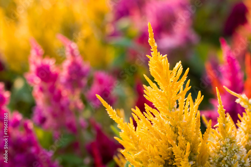 Close up yellow red and purple Common Cockscomb Flowers Canvas-taulu