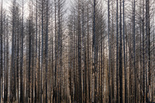 Dead Forest With Burned Trees
