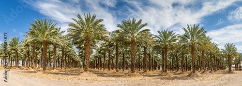 Photo Stands Roe Plantation of date palms. Panoramic image.Tropical agriculture industry in the Middle East