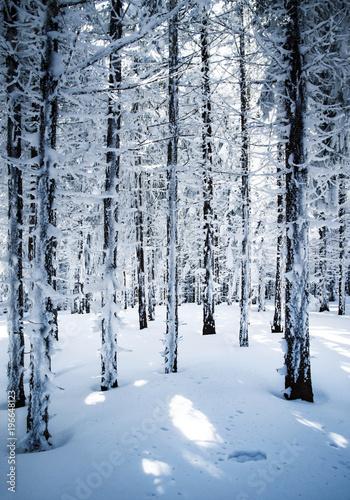 Tuinposter Berkbosje in a densely snowy spruce forest