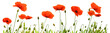 canvas print picture - Red poppy flowers isolated .