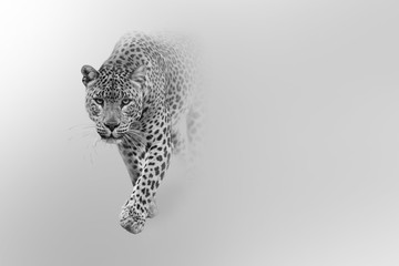 Obraz na Szkleleopard walking out of the shadow into the light digital wildlife art white edition