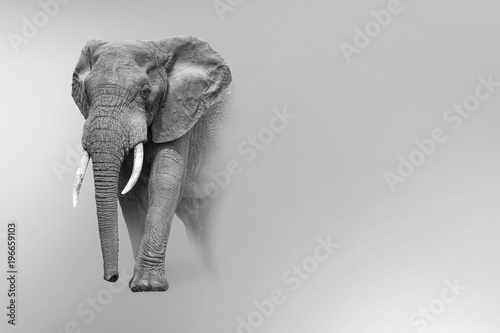 Photo sur Toile Elephant elephant walking out of the shadow into the light digital wildlife art white edition