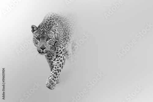 Foto op Plexiglas Luipaard leopard walking out of the shadow into the light digital wildlife art white edition
