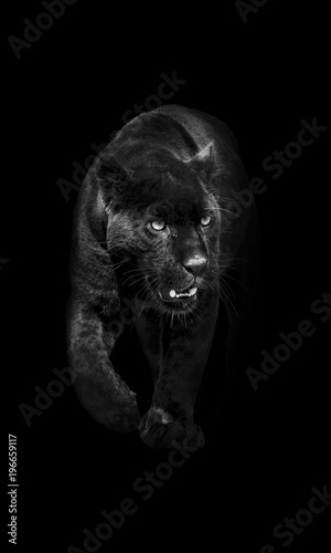 Spoed Foto op Canvas Panter black panther walking out of the dark into the light