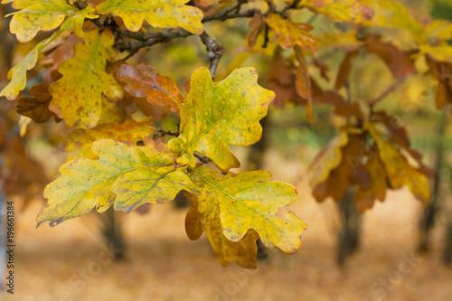 Photo sur Aluminium Vignoble Yellow oak leaves in autumn.