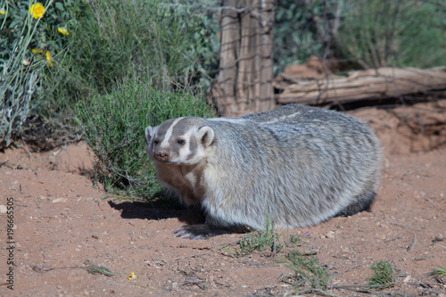 Badger in desert setting with old fence posts and wire fence in the background Fototapeta