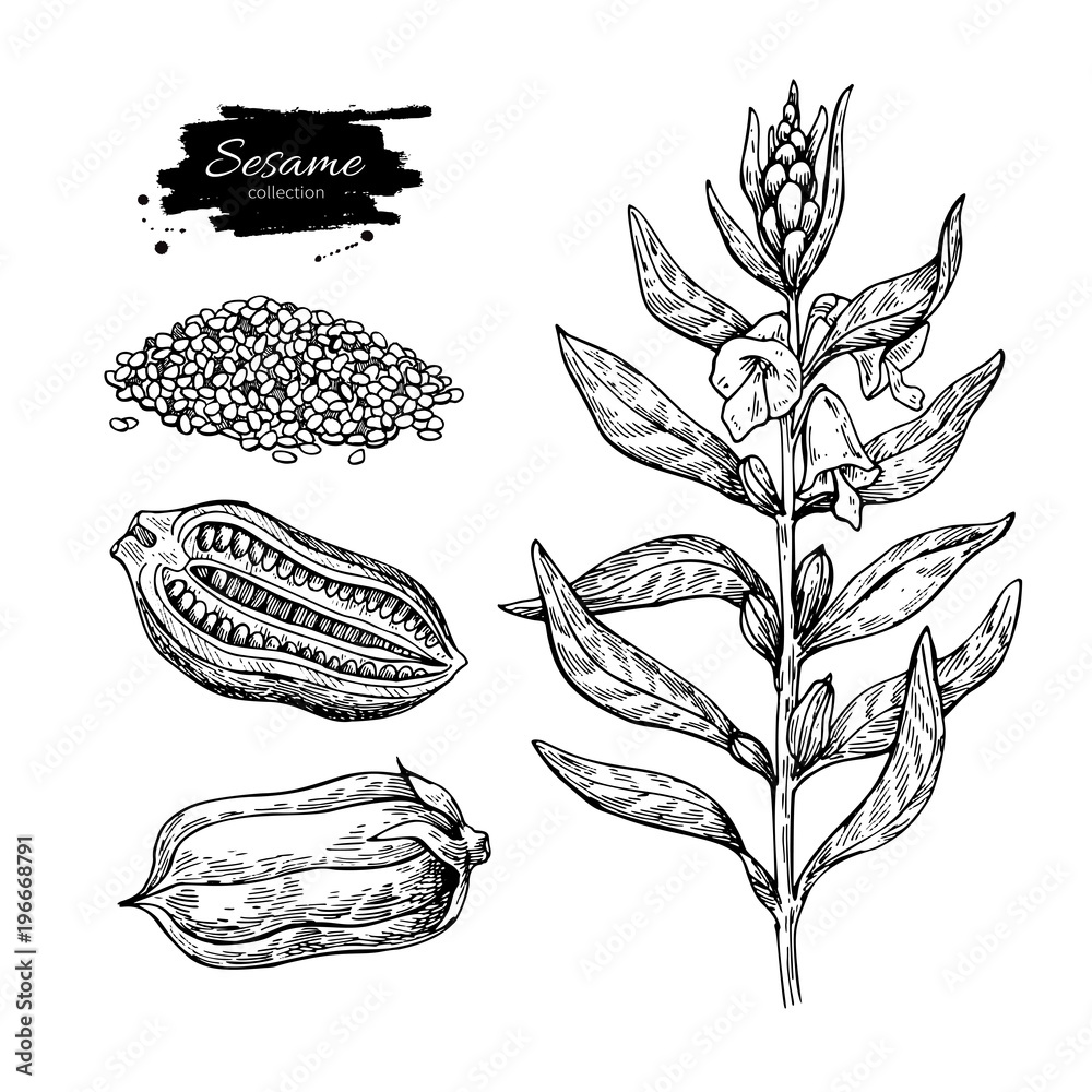 Fototapety, obrazy: Sesame plant vector drawing. Hand drawn food ingredient. Botanic