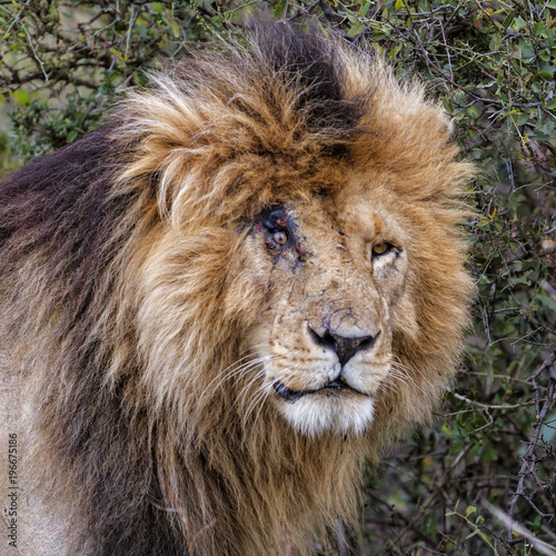 Photo  Portrait of the dominant lion male Scarface in the Masai Mara National Park in K