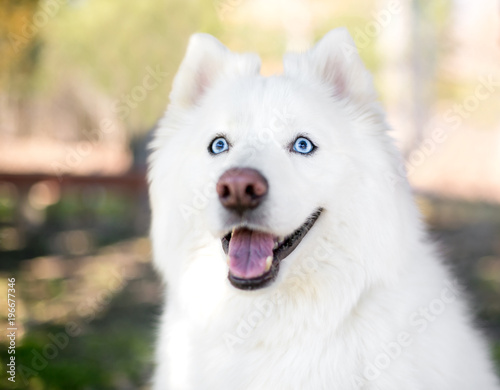 A fluffy purebred Samoyed dog with blue eyes - Buy this