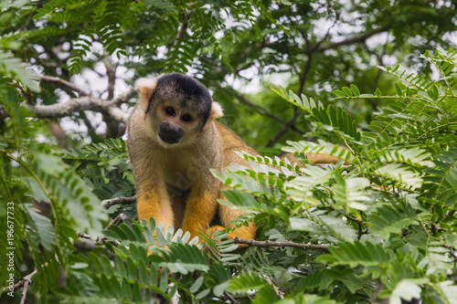 yellow squirrel monkey in the amazon rainforest Plakát