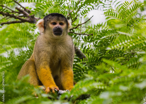 yellow squirrel monkey in the amazon rainforest Poster