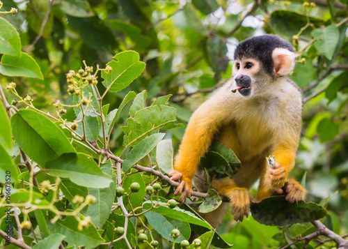 Photo  yellow squirrel monkey in the amazon rainforest
